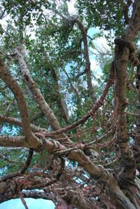 Amami_beac_tree