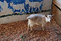 Amami_park_goat